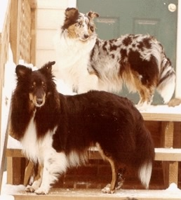 Nicholas and Belle, my first two shelties